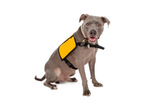 Pit Bull Wearing Yellow Service Vest